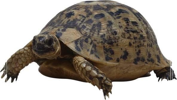 「图文」温度升高或造的雌性彩龟增多