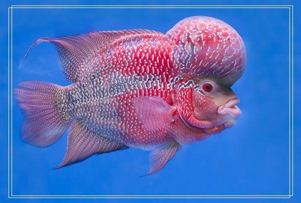 暗带蝴蝶鱼的外形特点「图文」