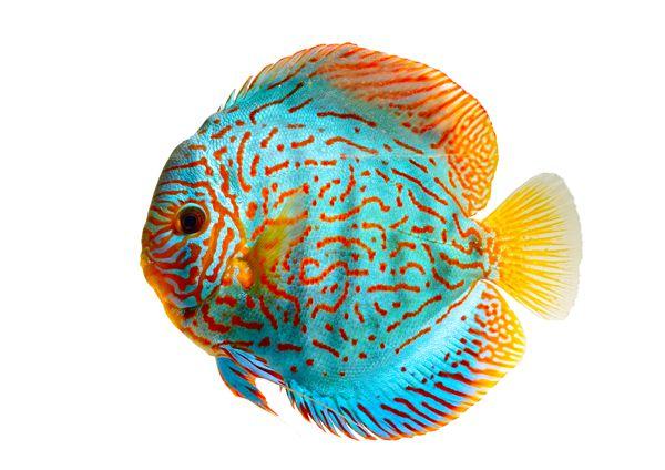 保持热带鱼彩鲜艳的两个方法