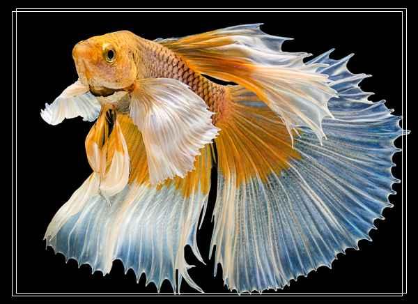 暗带蝴蝶鱼的品种