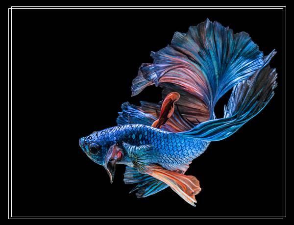 埃及神仙鱼的选购及入缸准备「图文推荐」