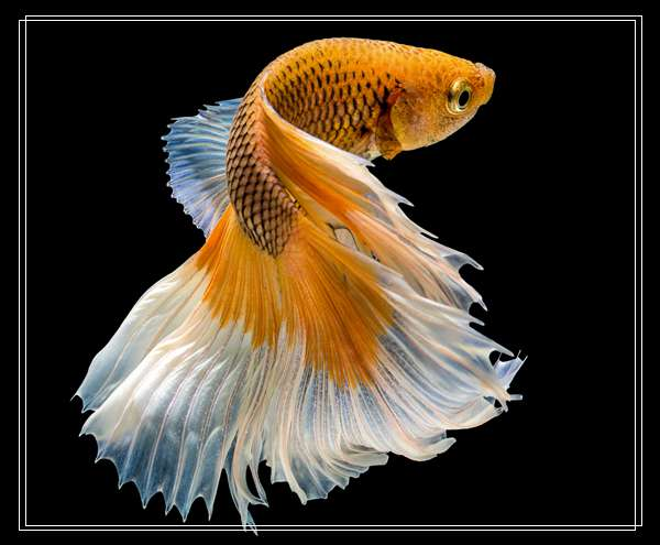 「图文」想养海水鱼,鮟鱇类海水鱼饲养方法