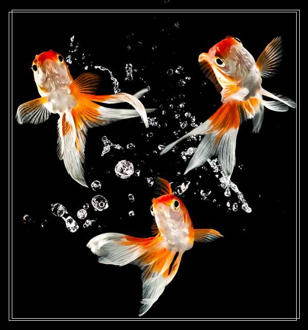 暗带蝴蝶鱼的品种简介