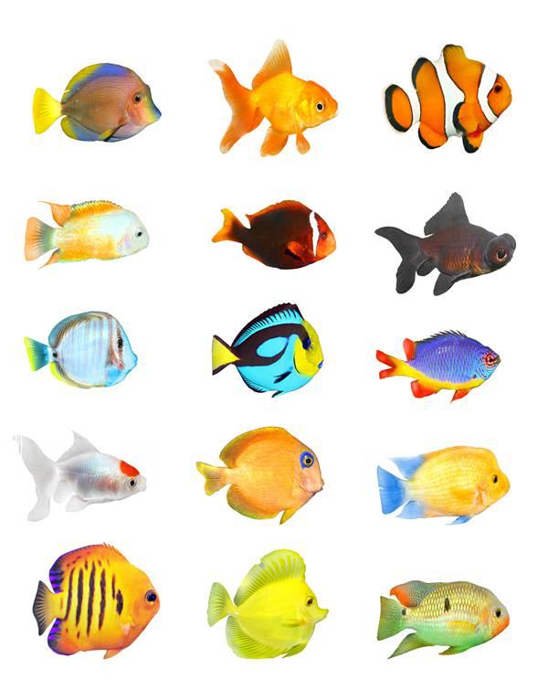 知道热带鱼颜色鲜艳是为什么吗?
