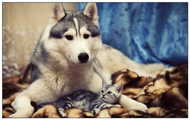 「图文」西伯利亚雪橇犬品种有几种?性格是怎样的?