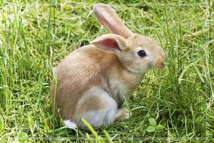 安哥拉兔的品种简介,兔多少钱一只