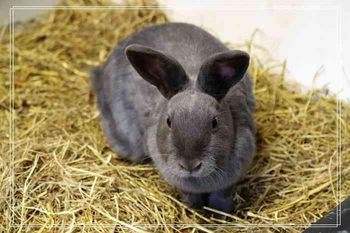 安哥拉兔的饲养及毛发的养护的图片
