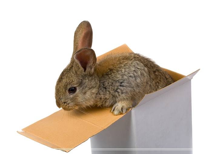 阿比尼西亚天竺鼠的喂食建议