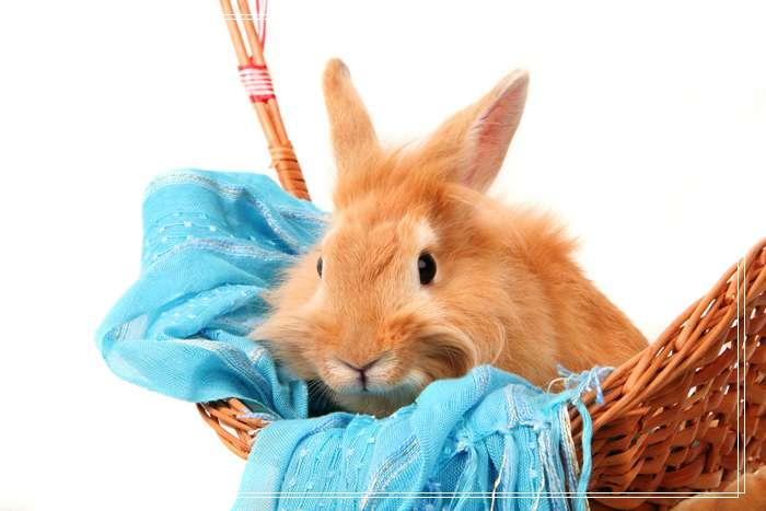安哥拉兔的毛发能有多长,巨型安哥拉兔多少钱一只?