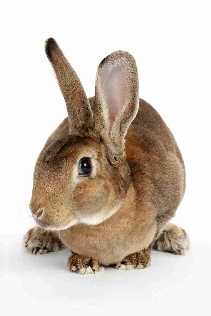安哥拉兔的毛发养护