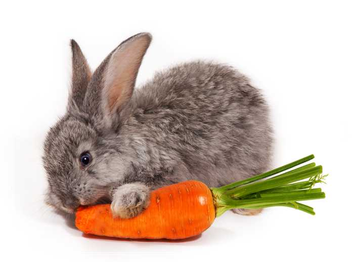 「图文」安哥拉兔的食物选择