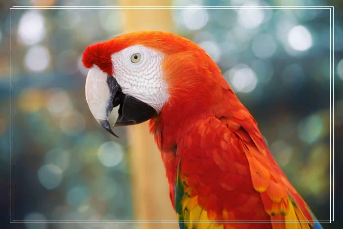 「图文推荐」爱德华无花果鹦鹉品种的形态特征是什么