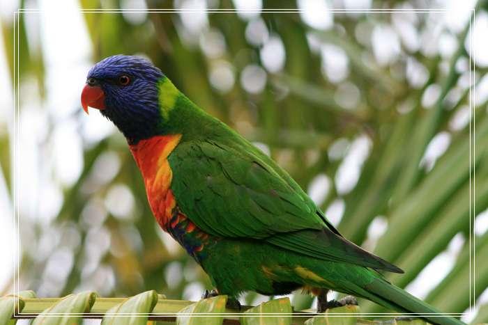 「图文」八哥鸟说话需不需要捻舌,如何教八哥鸟才能说话秘诀