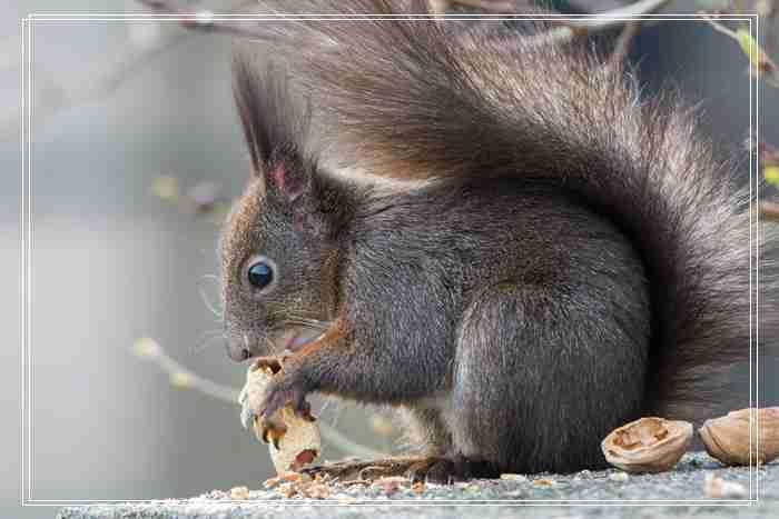 阿比尼「图文」西亚天竺鼠的养护要点